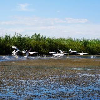 Excursie in Delta Dunarii - pelicani care isi iau zborul