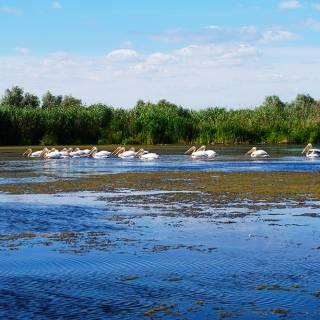 Excursie in Delta Dunarii - pelicani care plutesc linistiti