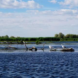 Excursie in Delta Dunarii - pescarusi pe lemne in deriva